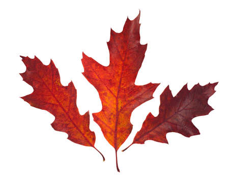red oak tree: Three beautiful autumn leaves of red oak tree ( Quercus rubra ) isolated on white background.
