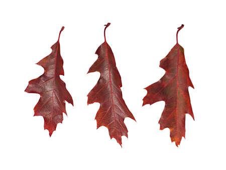 red oak tree: Three autumn leaves of red oak tree ( Quercus rubra ) isolated on white background.