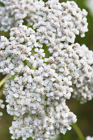 milfoil: Medicinal plant yarrow flowers outdoors close up. Stock Photo