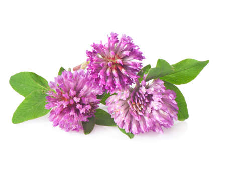 Red clover flowers on a white background close-up. Stock Photo
