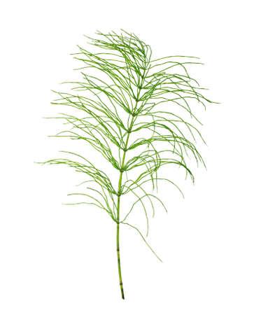 equisetum: Horsetail (Equisetum arvense) on a white background close-up. Stock Photo