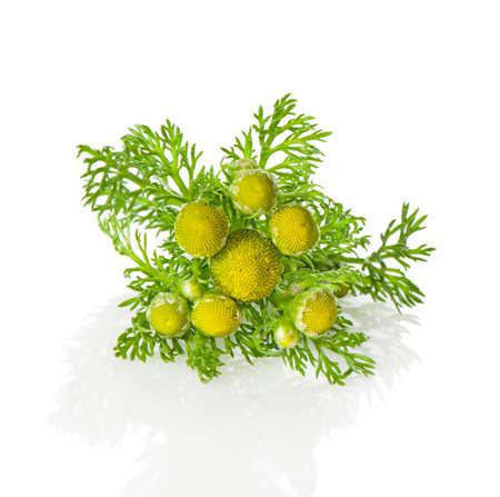 matricaria: Herbs pineappleweed (Matricaria discoidea) on a white background.