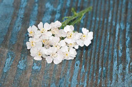 milfoil: Yarrow (Achillea millefolium) on a wooden background close-up.