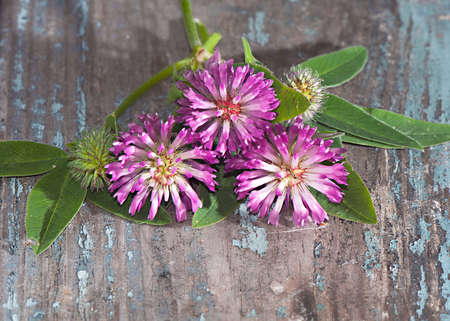 red clover: Red clover flowers on wooden background close-up.