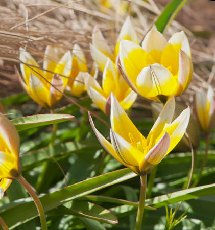 tulipa: Beautiful yellow tulips (Tulipa tarda) on the flowerbed.