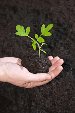 soil: Green sprout tomato seedling in a hand on a background the soil.