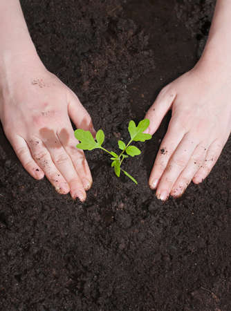 planting season: Green seedling in the soil and female hands. Spring planting season. Stock Photo
