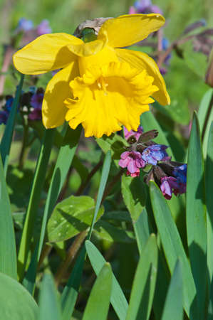 pulmonaria: Blooming Narcissus in the garden close-up. Stock Photo