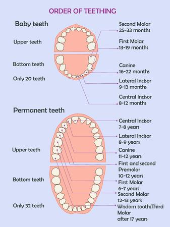 Order of teething. illustration