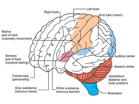 Brain sections diagram. illustration Illustration