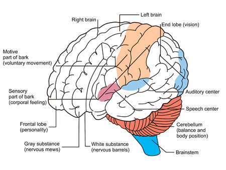 Brain sections diagram. illustration Illustration
