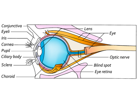 fovea: Anatomy of the healthy eye, detailed illustration
