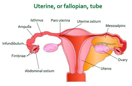 uterine: Uterine and follopian tube diagram. Illustration