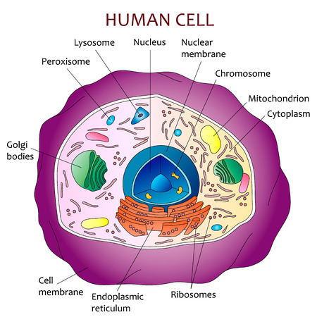 ribosomes: Human cell diagram. Illustration
