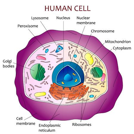 Human cell diagram. Illustration