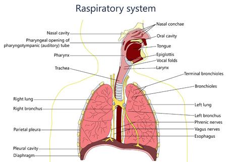 호흡기 시스템 다이어그램.