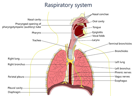 diagrama do sistema respiratório.
