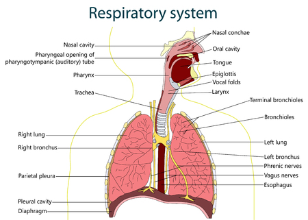 Respiratory System Diagram Royalty Free Cliparts Vectors And