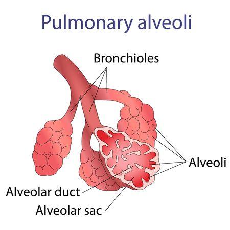 Illustration of human alveoli structure illustration Vector Illustration