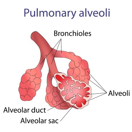 alveolos: Ilustración de Ilustración de la estructura humana alvéolos