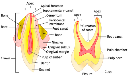 Tooth anatomy diagram illustration