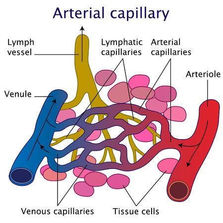 capillary: Arterial capillary vector illustration on white background Illustration