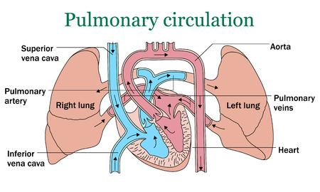 Pulmonary circulation vector illustration on white background