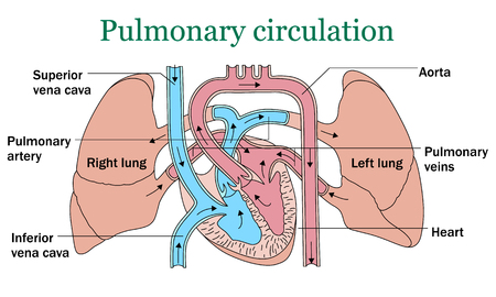 vena: Pulmonary circulation vector illustration on white background
