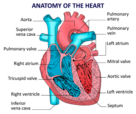 Human Heart Anatomy Royalty Free Cliparts, Vectors, And Stock ...