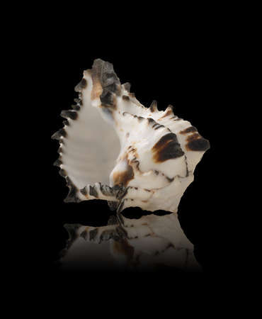 Sea Shell with mirrored reflection against black Reklamní fotografie