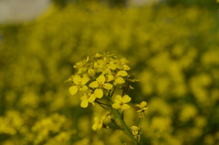 Field of yellow flowers winter cress or rapeseed closeup Stock Photo