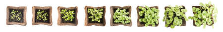 peat pot: Young Basil Sprouts or Seedlings in Peat Container Isolated on White Background