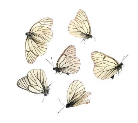 Many Aporia Crataegi Butterflies Died of Natural Causes Isolated on White Background. Dried Insects