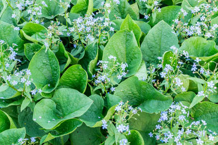 Eritrichium Blue Jack Frost or Brunnera Flower with Green Leaves. Natural Background with Spring Blossom Known as False Forget-me-not and Boraginaceae