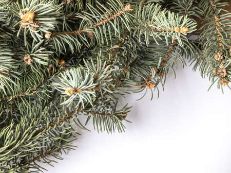 Christmas Tree Background with Natural Blue Spruce Twigs. Coniferous Pattern