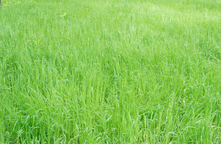 Natural Lush Grass Texture in Park. Uncut Spring Lawn