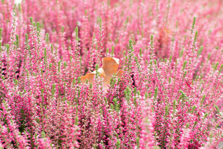 Artistically blurred photo with flowering heather plant, erica flower or gardener heather. Idyllic moorland pattern with beautiful blooming calluna flowers for website background or greeting card
