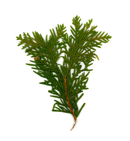 Dry flat thuja sprig isolated on white background flat lay and top view. Studio photo of cupressaceae green twig dried in a book