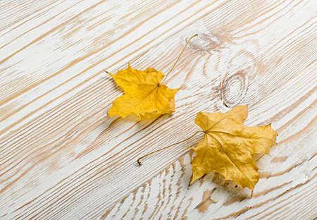 Beautiful dry maple leaf on white wooden background with place for text. Studio photo of yellow autumn leaf top view close up