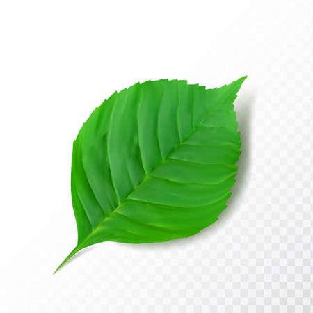 Ausführliches grünes Blatt lokalisiert auf transparentem Hintergrund. Realistische 3D-Vektorillustration des Pflanzenteils im schönen Cartoon-Stil
