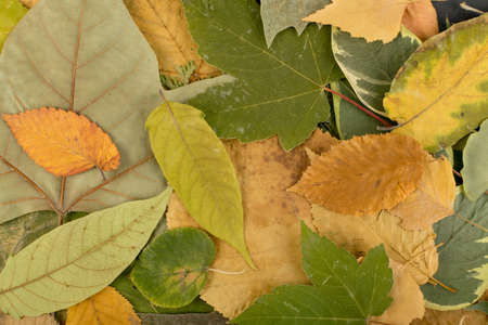 The forest floor, in camouflage colors with birch, oak, maple, chestnut, sycamore, linden and other leaf mix. Flat dried leaves top view Imagens
