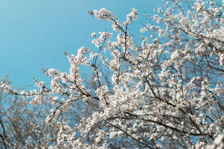 Blossom Cherry Tree over Nature Blue Sky Background. Beautiful White Cherry Tree Flowers in Spring Garden.