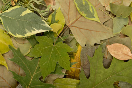The forest floor, in camouflage colors with birch, oak, maple, chestnut, sycamore, linden and other leaf mix. Flat dried leaves top view Foto de archivo