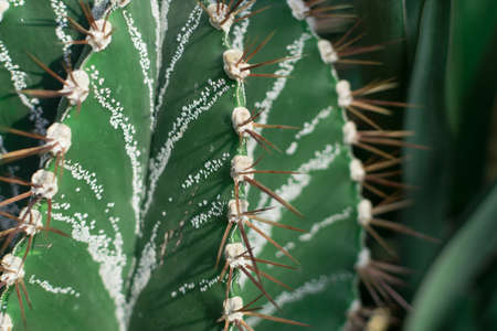 Macro photo of spiky and fluffy cactus, cactaceae or cacti on natural blurred background. Thorn cactus texture close up with selective focus