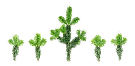 Set of natural green spruce twig isolated on white background. Lush fir branches or pine twigs sprig collection top view