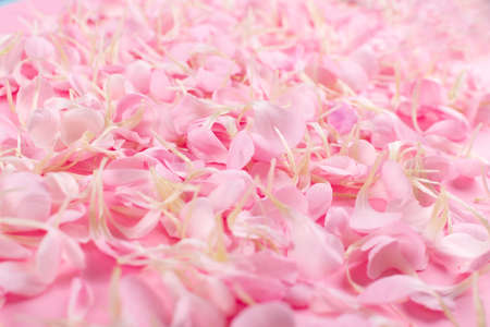 Pink carnation petals pattern, Flower flakes texture background closeup. Rose petal wallpaper, spring blossom romantic mockup