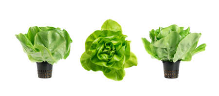 Raw fresh boston lettuce salad or butterhead isolated on white background. Green leaf salat plant top view