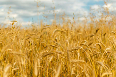 Wheat field texture background with ripening ears. Golden field landscape with selective focus and art filter. Rich grain harvest concept
