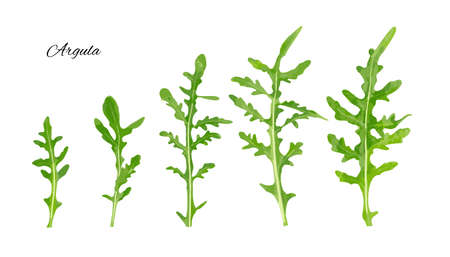 Arugula isolated. Fresh arugula, ruccola leaves, rucola, eruca or garden roquette collection vector illustration