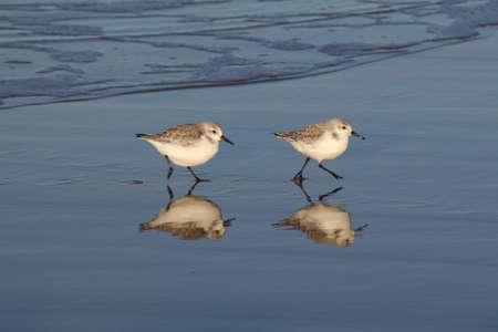 two sanderlings are running at the waterline with beautiful reflection in winter at the sea 스톡 콘텐츠